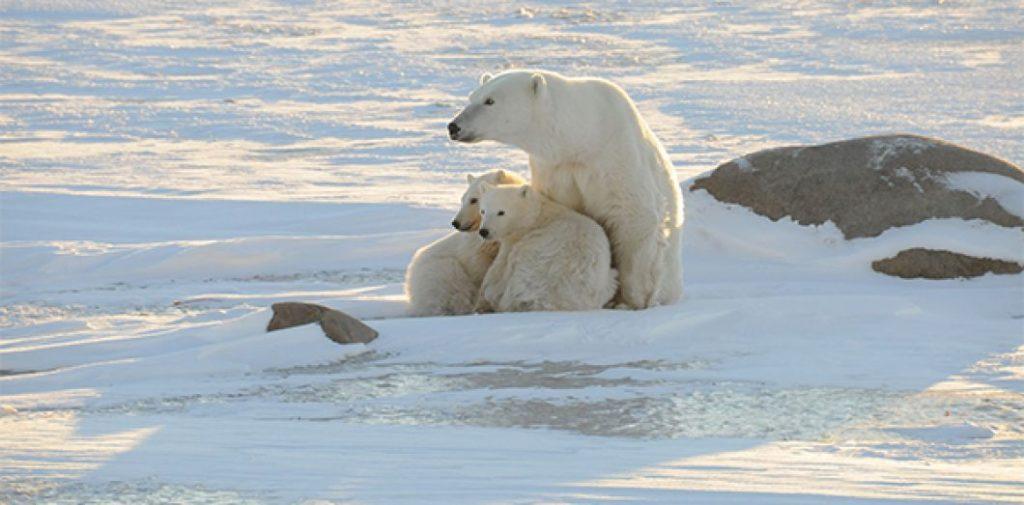à la rencontre des ours polaires au Grand Nord
